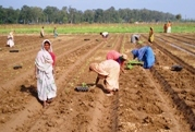 Field cultivation in India