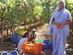 Tablegrape production in India