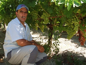 Tablegrape production in Greece