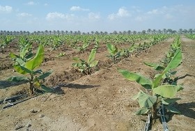 Banana production in Oman