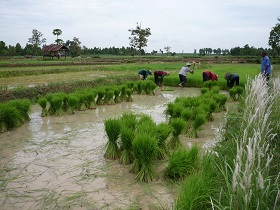 Transplanted rice in Thailand